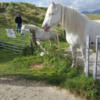 Luskentyre ponies