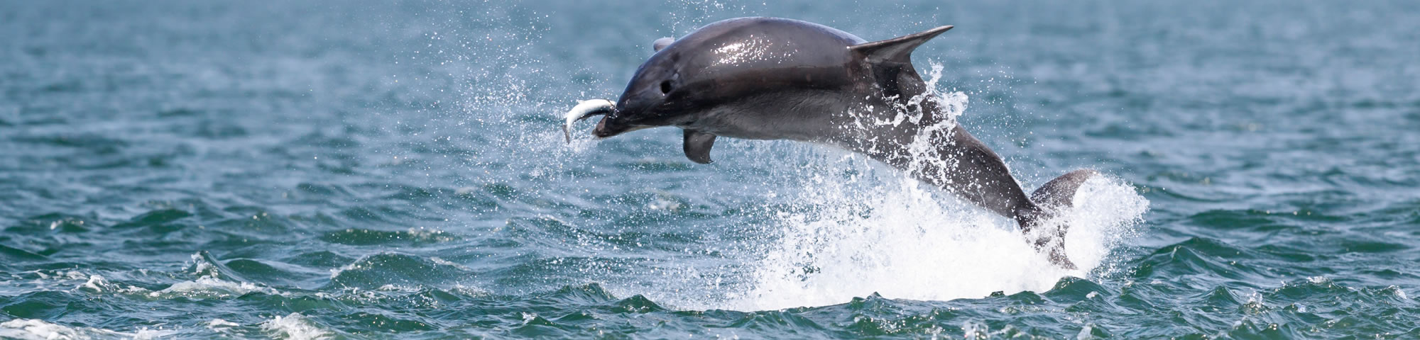 Dolphin watch off Chanonry Point