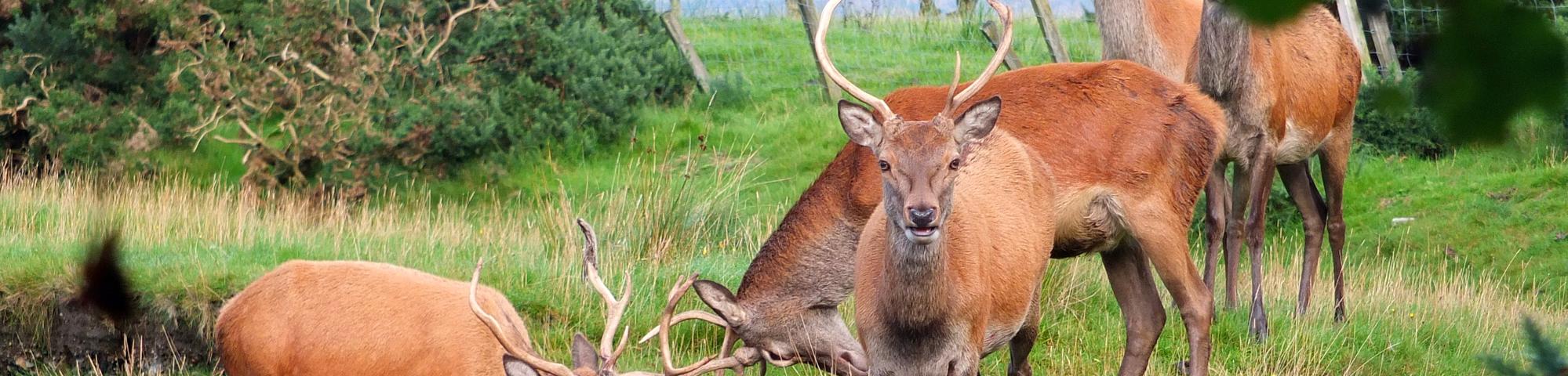 Deer on Arran